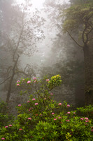 Rhododendron and Fog