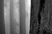Redwoods In The Fog (No. 227)